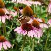 Butterfly on coneflower  Community Photo By:  Cindi Tennison  Submitted By:  Cindi , Bethany