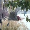 Redbirds and Ice Storm 2007! (Jan. 12) This squirrel-proof feeder was a popular destination spot this afternoon for many different kids of birds. Filled with sunflower seeds, cardinals, woodpecks and titmice found it irresistable. The pampas grass and magnolia leaves are showing the effects of this winter storm.  Community Photo By:  Lin Archer  Submitted By:  Lin, Harrah