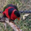 Lorikeet at the Oklahoma City Zoo (cropped)  Community Photo By:  Cindi Tennison  Submitted By:  Cindi , Bethany
