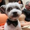 Wearing a bow tie for the occasion, Blue Joie is held by his owner Ingrid Robinson of New York, as they and others wait for the start of the most expensive wedding for pets Thursday July 12, 2012 in New York. The black-tie fundraiser, where two dogs were