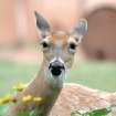 Doe and Flowers at the Oklahoma City Zoo  Community Photo By:  Michael Gross  Submitted By:  Michael, Oklahoma City