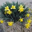 This is what our daffodils will look like along the border of Warr Acres in a few more years.  Taken in Twin Lakes neighborhood 3-16-08.  Community Photo By:  Gina Jordan Kishur  Submitted By:  Gina Jordan, Oklahoma City