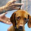Linda Clark, of Tulsa, handles Flirt, a Vizsla, as she is judged by Edd Biven (CQ) EDD BIVEN during the Oklahoma City Summer Classic Dog Show at the Cox Convention Center in Oklahoma City Sunday, June 28, 2009. Flirt, who lives in Edmond, won Best in Group at the dog show. Photo by John Clanton, The Oklahoman