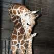 2012 - The Oklahoma City Zoo's new baby giraffe Sergeant Peppers and mom, Ellie. Photo By Jaimee Flinchbaugh,