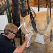 Dave Helms uses the latest technology to create a prosthetic leg for Cornucopia, an Alpaca. Provided