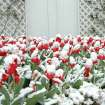 Snow covered tulips in front of Boyd House in Norman reflect the OU colors of red and white.  March 23,2006.  Community Photo By:  Jenna McIntosh  Submitted By:  Jenna,
