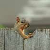 Squirrely Neighbor....Hanging Over the Fence.  Community Photo By:  Michael Gross  Submitted By:  Michael, Oklahoma City