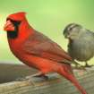 Cardinal Fan....  Community Photo By:  Michael Gross  Submitted By:  Michael, Oklahoma City