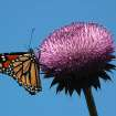 Monarch Butterfly on Purple Thistle Flower Near Okarche.  Community Photo By:  Michael Gross  Submitted By:  Michael, Oklahoma City