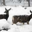This image provided by the Rocky Mountain National Park, Colorado shows some wildlife inside the park Wednesday Oct. 26, 2011. A snowstorm moved in to the area on Tuesday night, dumping 12 to 16 inches of snow. (AP Photo/Rocky Mountain National Park)  ORG XMIT: LA112