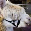 Alpaca owners gathered in Shawnee's Heart of Oklahoma Expo Center this weekend for a regional alpaca show,  Alpacas of Oklahoma Blast Off. The event begins today, Friday, Jan. 22, 2010. The eyes of this alpaca are mostly covered by its hair. Photo by Jim Beckel, The Oklahoman ORG XMIT: KOD