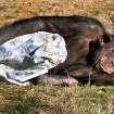 Cindy, a 43- year-old chimpanzee wraps up in a blanket at the Great EscApe at the Oklahoma City Zoo, Tuesday  December, 27,  2011. Photo by Steve Gooch, The Oklahoman