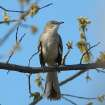 Mockingbird Among Spring Blossoms  Community Photo By:  Michael Gross  Submitted By:  Michael, Oklahoma City