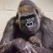 Emily, a 29-year-old Western lowland gorilla holds her newborn baby Tuesday at the Oklahoma City Zoo. The birth was the fifth for Emily who was born in Oklahoma City 29 years ago. Photo by Jennifer D'Agostino