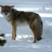 A cyote in Yellowstone National Park, January 2008.  An amazing experience.  Community Photo By:  Gina Jordan Kishur  Submitted By:  Gina Jordan, Oklahoma City