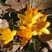 First flowers of spring!  Community Photo By:  Cindi Tennison  Submitted By:  Cindi , Bethany
