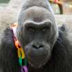 This photo provided by the Columbus Zoo and Aquarium shows 56-year-old Colo posing for a photo as she celebrates her birthday, Saturday, Dec. 22, 2012, at the Columbus Zoo and Aquarium in Columbus, Ohio. Colo is the oldest gorilla in any zoo. She was born at the Columbus Zoo and Aquarium in 1956. (AP Photo/Columbus Zoo and Aquarium, Grahm S. Jones)