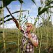 Dan Houser harvests sorghum for the 2010 Sorghum Day Festival in this file photo. This year's festival is coming up on Saturday, Oct. 27.  JIM BECKEL - The Oklahoman Archives
