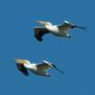 Fall Migration Through Oklahoma Has Begun. Pelicans Over The Cimarron River Near Dover.  Community Photo By:  Michael Gross  Submitted By:  Michael, Oklahoma City