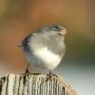 Happy Holidays from a Happy Junco.  Community Photo By:  Michael Gross  Submitted By:  Michael, Oklahoma City