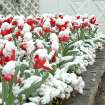 Snow covered tulips in front of Boyd House in Norman reflect the OU school colors of red and white.  March 23, 2006.  Community Photo By:  Jenna McIntosh  Submitted By:  Jenna,