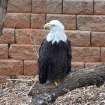 Bald Eagle in new Oklahoma Trails exhibit at Oklahoma City Zoo  Community Photo By:  Cindi Tennison  Submitted By:  Cindi , Bethany
