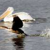 A Cormorant takes flight with a White Pelican in the background at the Oklahoma City Zoo lake during it's migration south in Oklahoma City, Thursday December, 8,  2011. Photo by Steve Gooch, The Oklahoman.