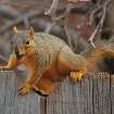 Going Nuts for Spring... Young Squirrel Enjoys a Warm Spring Morning.  Community Photo By:  Michael Gross  Submitted By:  Michael, Oklahoma City
