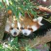 Two Red Panda babies sit in a tree at the Oklahoma City Zoo in Oklahoma City, Oklahoma November 6, 2009. Photo by Steve Gooch, The Oklahoman ORG XMIT: KOD