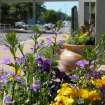 Pots of purple and yellow flowers at the entrance of city buildings in downtown Edmond show support for next week's PGA tournament.  Community Photo By:  Claudia Deakins  Submitted By:  Claudia, Edmond