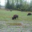 It's difficult to tell the difference between the Wood buffalo in Alaska and the plains buffalo. PHOTO PROVIDED