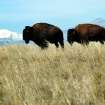 This undated image supplied by the U.S. Fish and Wildlife Service shows bison at the Rocky Mountain Arsenal National Wildlife Refuge in Commerce City, Colo., with the Rocky Mountains in the background. The park, which opens a nine-mile do-it-yourself Wildlife Drive Oct. 13, was built on a former Superfund site just outside of Denver. (AP Photo/Josh Barchers/DPRA)