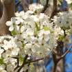 Bradford Pear blooms in Bethany  Community Photo By:  Cindi Tennison  Submitted By:  Cindi , Bethany