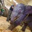 This Friday Nov. 30, 2012 photo provided by the Oregon Zoo shows a newborn female Asian elephant calf just moments after birth at the Oregon Zoo in Portland, Ore. The Oregon Zoo says their Asian elephant Rose-Tu gave birth to the 300-pound female calf at 2:17 a.m. Friday, and the youngster is healthy, vigorous and loud. (AP Photo/Oregon Zoo, Michael Durham)