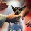 Ch. Barbery's Love Letter, a Toy Fox Terrier, is handled by Gene Bellamy, of Oklahoma City, as she is judged during the Oklahoma City Summer Classic Dog Show at the Cox Convention Center in Oklahoma City Sunday, June 28, 2009. Photo by John Clanton, The Oklahoman