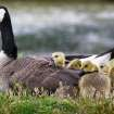 A mother goose keeps her goslings warm and dry as they sit near a pond in front of the old Lexington Mall on Richmond Road shortly after a strong storm moved through the area in Lexington, Ky., Wednesday, April 27, 2011. (AP Photo/The Lexington Herald-Leader, Charles Bertram)