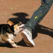 Stegosaurus, a Pembroke Welsh corgi, nips at the pant leg of Kyle Kern while spending time with Kern and Jenna Gilmore (not pictured) at the Oklahoma City PAW Park, a dog park near Lake Hefner, in Oklahoma City, Monday, May 3, 2010. Photo by Nate Billings, The Oklahoman