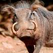 Animal Mug shot of a warthog for a special feature about
