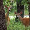 Twin Fawns in the Wichita Mountains.  Community Photo By:  Michael Gross  Submitted By:  Michael, Oklahoma City