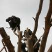 A chimp on a tree in the enclosure at the Oklahoma City Zoo is seen in this photo provided by Christel Burkard.