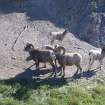 Wildlife such as bighorn sheep or plentiful along the Alaska Highway. PHOTO PROVIDED