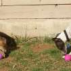 Silas Bullet and Paloma Belladogga, year-old Italian greyhounds, work to extract treats from treasures they've found during their first Easter egg hunt on Sunday morning.  Community Photo By:  Amy Raymond  Submitted By:  Amy, Oklahoma City