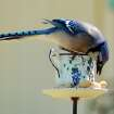 Ahhh, I've hit the jackpot..Bluejay discovering the treats.  Community Photo By:  Bill Browning  Submitted By:  Bill, Moore