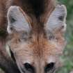 In this Nov. 13, 2012 photo, a lobo-guara, also known as a maned wolf, stands in the Jardim Zoo in Brasilia, Brazil. Brazilian researchers are turning to cloning to help fight the perilous decline of several animal species. The scientists at Brazil's Embrapa agriculture research agency said this week they have spent two years building a gene library with hundreds of samples from eight native species, including the collared anteater, the bush dog, the black lion tamarin, the coati, and deer and bison varieties, as well as the leopard and the maned wolf, according to team leader Carlos Frederico Martins. (AP Photo/Eraldo Peres)