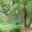 A male peacock shows off for interested females in the nesting area at the Fountain of Youth in St. Augustine, Fla. Photo courtesy of Glenda Winders.
