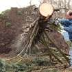 William Lamp cuts up an 80-foot pine tree that fell down in the yard of friend April Rouse during Friday's storm in Holton, Ind. Sunday, March 4, 2012. A string of violent storms scratched away small towns in Indiana and cut off rural communities in Kentucky as an early-season tornado outbreak struck on Friday, killing at least 37 people. (AP Photo/Ernest Coleman) ORG XMIT: INEC106