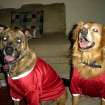 Our dogs Baylee and Tiger in their OU outfits  Community Photo By:  Dean Southern  Submitted By:  Jenni, Bethany