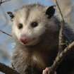 Playing Possum  Community Photo By:  Michael Gross  Submitted By:  Michael, Oklahoma City