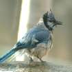 Blue Jay Enjoys a Bath  Community Photo By:  Michael Gross  Submitted By:  Michael, Oklahoma City