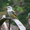 Scissor-tailed Flycatcher at OKC Zoo Oklahoma Trails.  Community Photo By:  Bill Schmidt  Submitted By:  Susan, Oklahoma City